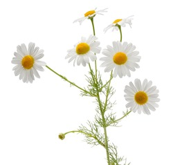 Many camomile flowers and leaves on one stalk isolated on white background