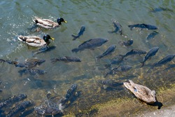 Many carp at the surface with ducks.