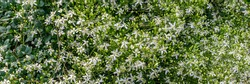 Many Clematis flammula fragrant flowers, banner. Beautiful white small blooms of Clematis fragrant virgin's bower in summer garden.