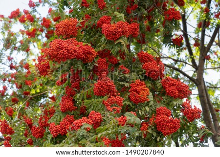Many clusters of rowan berries on a branch with green foliage. Green foliage of a tree with red berries. #1490207840
