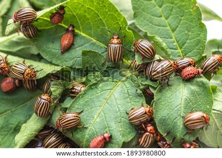 Many Colorado potato beetle.Colorado beetle eats a potato leaves young.Colorado potato beetle on a light background. Foto stock ©