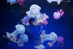 Many colored and white jellyfish in blue water