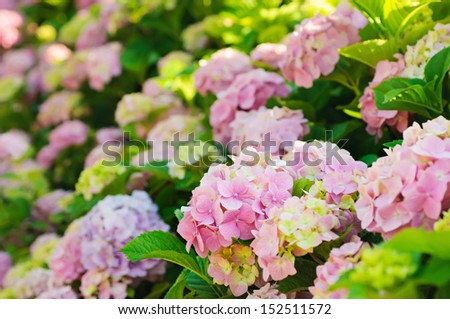 Many colorful hydrangea flowers growing in the garden, floral background