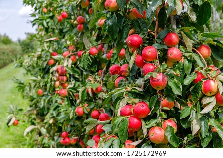 Many Colorful red apples on tree ready to harvesting. Apple orchard with red apples.