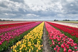 many colorful tulips on fields during spring, Holland