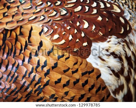 Many-coloured feathers of the pheasant. Picture can be used as a background - stock photo