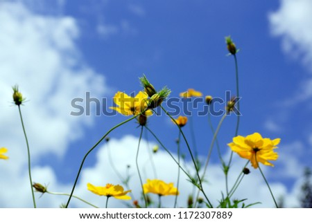Many common names, Sulfur Cosmos, Orange cosmos, Yellow Cosmos, Yellow Star Flower blooms during summer in the public park garden. Flowers with sky background.