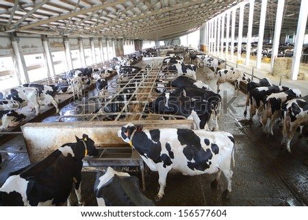 Many cows in the hangar with metal floor on a dairy farm