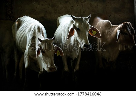 Many cows stand in the dark, on the ground in a slaughterhouse, light from the back creates beautiful rim light, dramatic art and dark tones. Сток-фото ©
