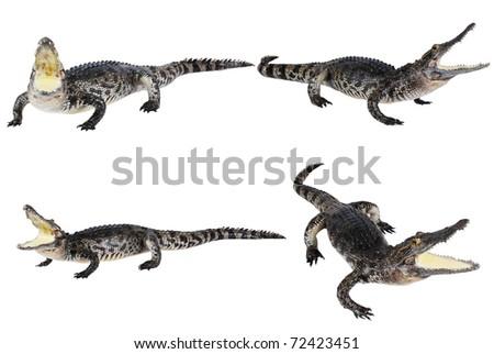 Many crocodile stuff isolate on the white. - stock photo