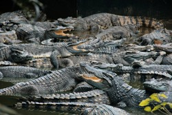 Many crocodiles and alligators are resting in water in a hot day closeup background. Wild animals. Farm in southeast asia