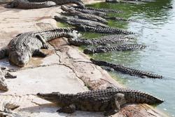 Many crocodiles bask in the sun. Crocodile in the pond. Crocodile farm. Cultivation of crocodiles. Crocodile sharp teeth.