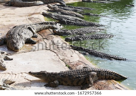 Many crocodiles bask in the sun. Crocodile in the pond. Crocodile farm. Cultivation of crocodiles. Crocodile sharp teeth.