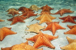 Many cushion starfish underwater on a sandy ocean floor