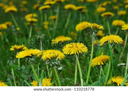 many dandelion flowers on a green meadow in the spring and summer