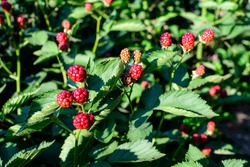 Many delicate small red fruits of blackberry bush in direct sunlight, in a garden in a sunny summer day, beautiful outdoor floral background photographed with soft focus