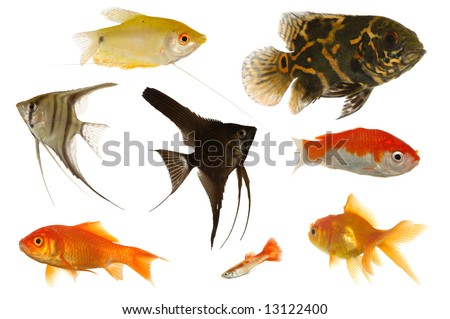Many different aquarium fish isolated on white background.