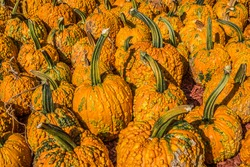 Many different sizes and shapes of pumpkins with warts on them that are called goose bumps a strange and unusual type of pumpkin at a farm on a bright sunny day in autumn