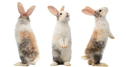 Many different standing poses of three colour cute little rabbits.Lovely action of young rabbits.