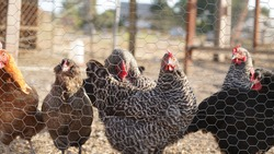 Many different types of chicken breeds at a local farm in Gilroy, California (USA).