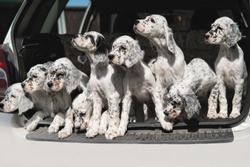 Many dogs are sitting in the trunk of the car. Puppies of the Setter. Transportation of animals. Breeder takes the puppies to the veterinary clinic for vaccination. Hunting dogs