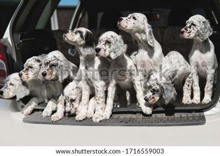 Many dogs are sitting in the trunk of the car. Puppies of the Setter. Transportation of animals. Breeder takes the puppies to the veterinary clinic for vaccination. Hunting dogs Сток-фото ©