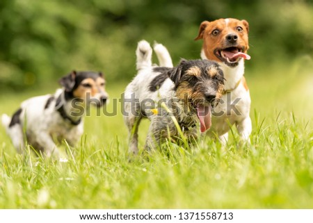 Many dogs run and play with a ball in a meadow - a cute pack of Jack Russell Terriers #1371558713