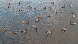 Many ducks swim in the river and look for food. Migration of migratory birds. Protection of animals. Animal behavior in the wild. Observation of animals. Swimming duck image.