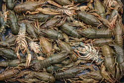 Many European live crayfish on a table in a rustic style, close-up.