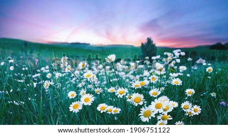 Many flowers meadow daisies in field in nature in evening at sunset. Natural landscape with beautiful sunset sky in blue pink and purple tones with soft selective focus.