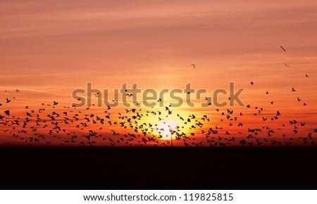 many flying migrating birds over sunset