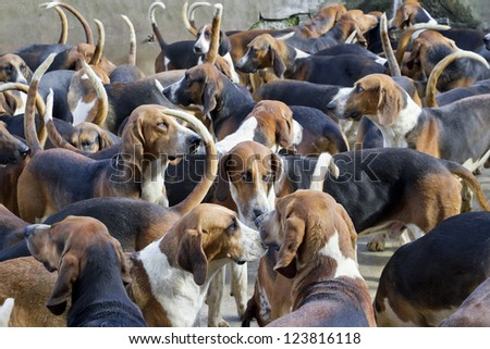 Many French purebred red hounds dogs waiting for the start of hunting  in the yard of the old knight's castle. Art soft selective focus