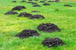 many fresh mole digs in a green meadow