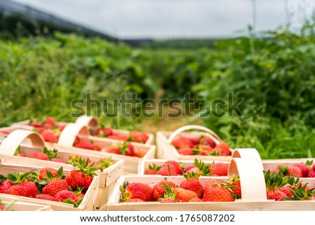 Many fresh red strawberries in wooden baskets after harvest on organic strawberry farm. Strawberries ready for export. Agriculture and ecological fruit farming concept