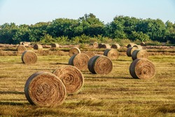 Many freshly rolled bales of hay on green grassland late on a sunny afternoon in west central Florida, USA (foreground focus), for agricultural, harvest, and seasonal motifs