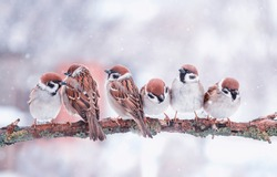 many funny little birds sparrows are sitting on a tree branch in winter garden under falling snowflakes and cheerfully tweet