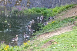 many geese are standing in a body of water and running up a hill into a green meadow. many flying birds are looking for food.