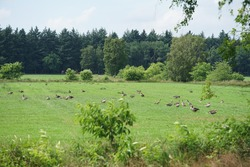 Many geese in a nature reserve in Germany