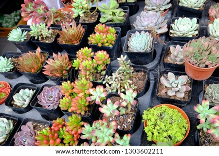 Many kind cactus species in the black pots in the flower market