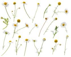 Many leaves, flowers, stems and buds of camomile at various angles isolated on white background