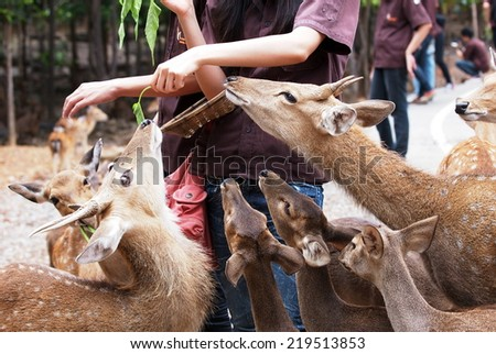 many light brown color deers walking in groups on the street in an open zoo to zoo visitors that come with vegetable and fruits to feed them