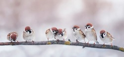 many little funny birds sparrows are sitting on a branch in the garden and cute quarrel