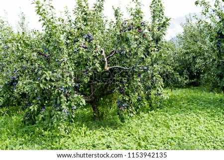 many low trunk plum trees in an orchard full of juicy ripe plums