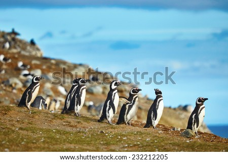Many Magellanic penguins in natural environment on Magdalena island in Patagonia Chile South America