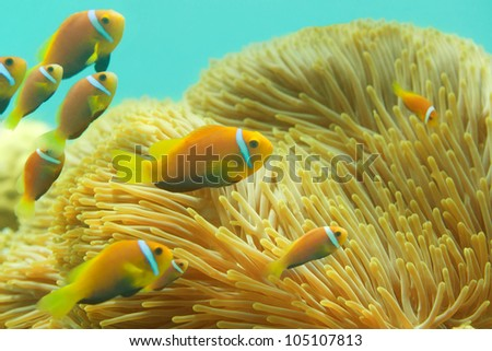 Many Maldivian clownfishes swimming between sea anemones