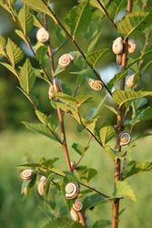 Many meadow snails on a plant in a field. Cepaea hortensis. Little snails on grass in summer. Many snails. Snail on the plant.