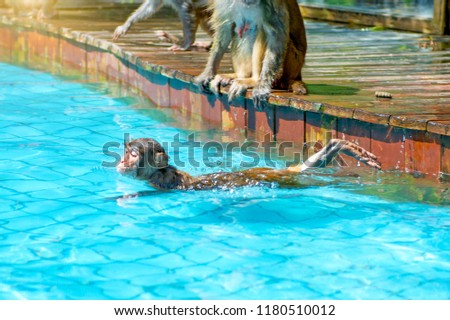 many monkeys swim in the pool, eat play and bask in the sun, the tropics. monkey island #1180510012
