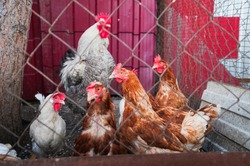 Many multi-colored hens and a cock behind the fence. Textural background for your text.