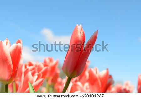 Many multicolored blooming tulips. #620101967