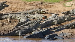 Many Nile crocodiles lie with their mouths wide open in the warming sun on the muddy, stony banks of the Mara River